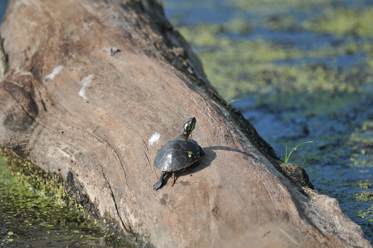 Just a tiny turtle was basking in the sun, a Song Sparrow singing near-by and a few Red-winged Blackbirds whistling.
