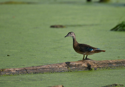 There were a few wood-ducks in the pond across the road, a great blue heron flew by.
