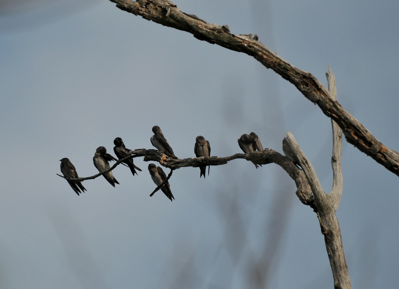 lots of purple martins on the dry branches.