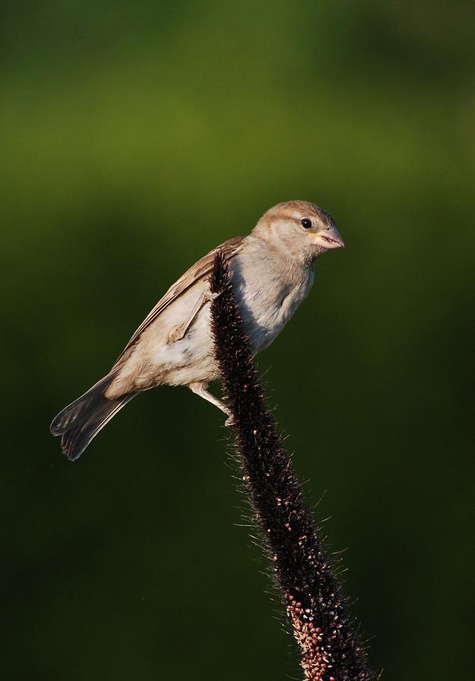 female house sparrow; University of Illinois Arboretum