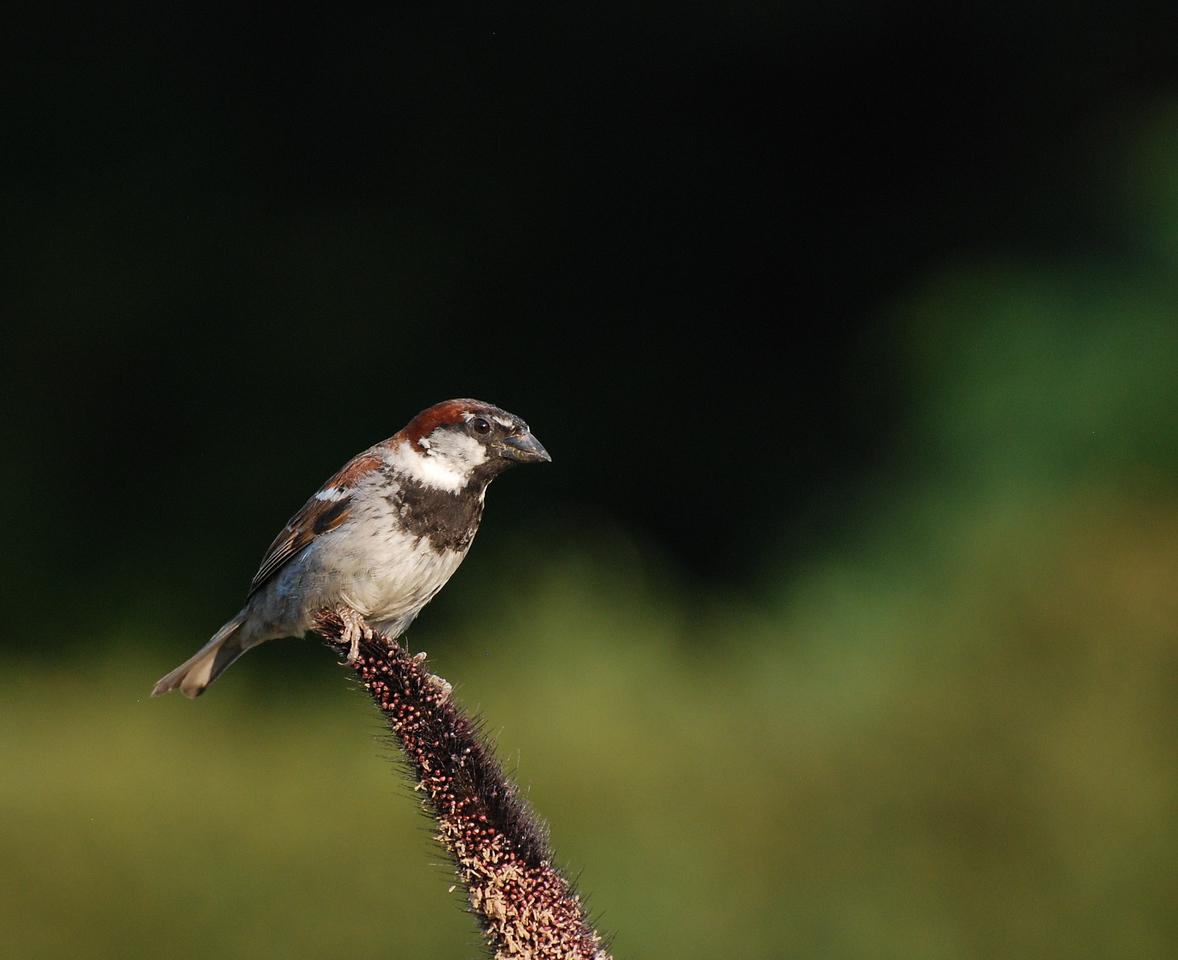 male house sparrow; University of Illinois Arboretum