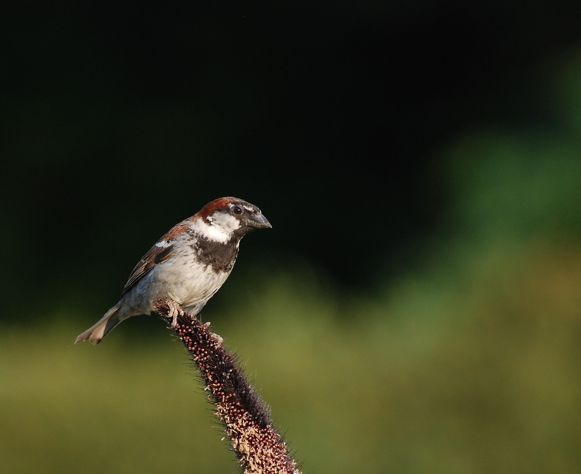 male house sparrow; University of Illinois Arboretum