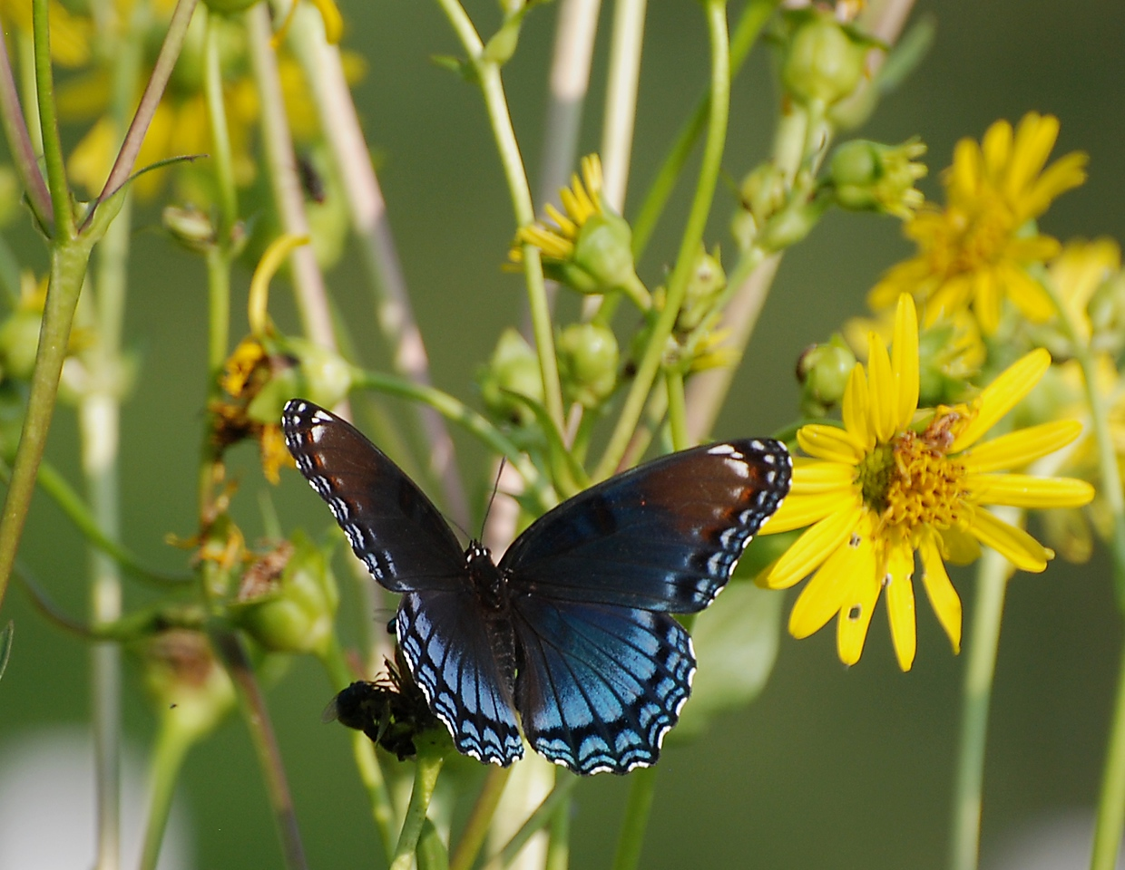 I saw several butterflies like this one; Meadowbrook park, Urbana