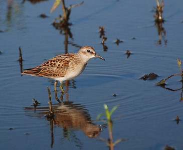 this is a very small bird - least sandpiper?