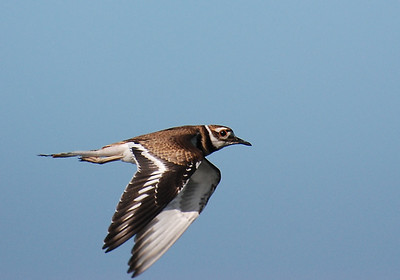 Champaign shorebirds