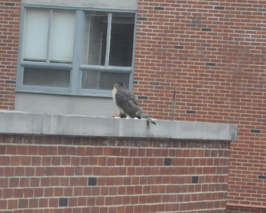 February 2: There is a hawk right now eating a pigeon for ~30 min at the engineering sciences building in the back to the nuclear reactor.<br /> <br /> Ivan<br /> ps. pity I do not have the big lens - don't leave home without it :)
