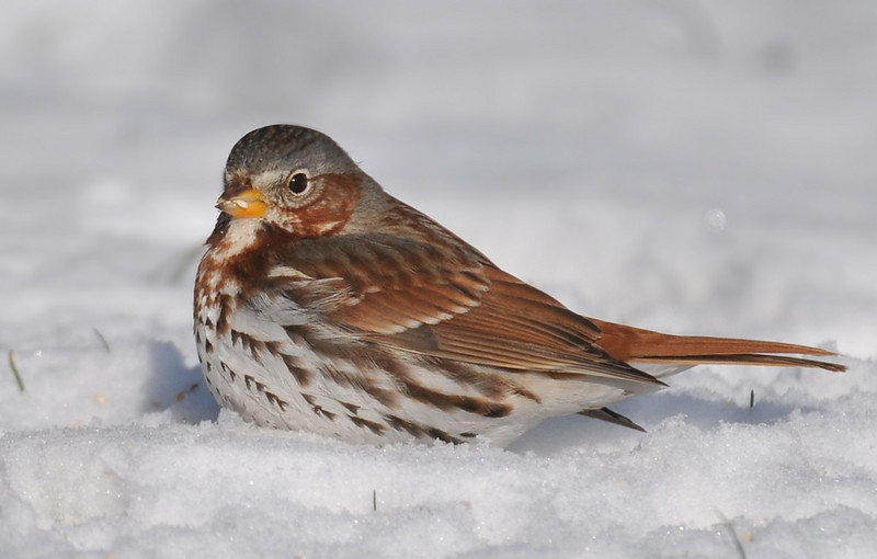 Anita Purves Nature Center, fox sparrow