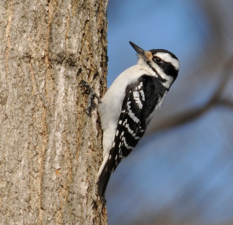 Alerton Park - hairy woodpecker, female