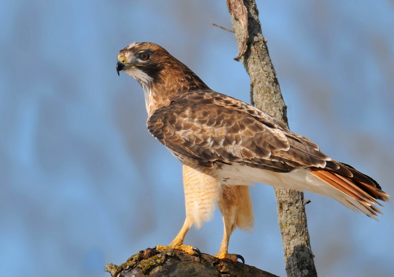 Alerton park, red-tailed hawk