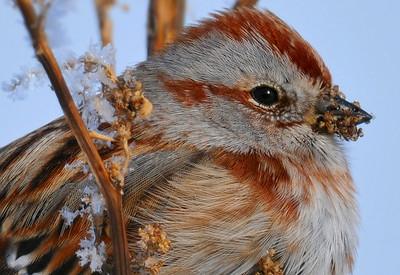 Amreican tree sparrow - macro