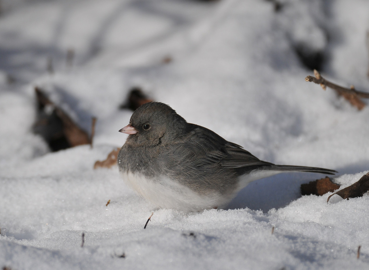Anita Purves Nature Center, junco - the original file