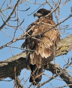 Juvenile bald eagle, River beach road, Rome - just north of Peoria
