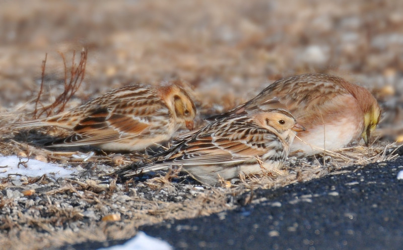 CoRd 500E x CoRd 1800N lapland longspurs  and a horned lark