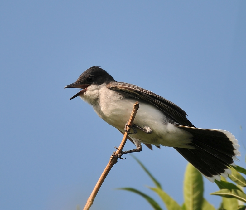 There is a family of kingbirds living at First and Windsor, two adults and two kids, July 12, am.