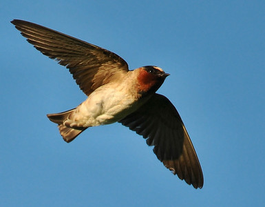 Cliff swallows near Homer, Illinois, July 12, am