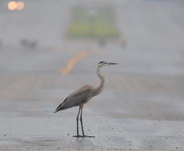 """road runner"" - curtis road wetlands, July 11, am"