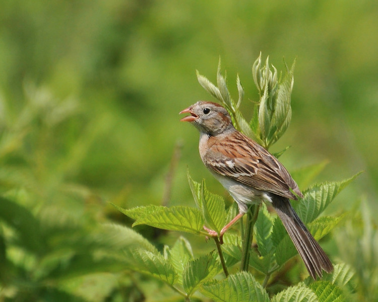 Field Sparrow, Buffalo Trace, June 13, 2009