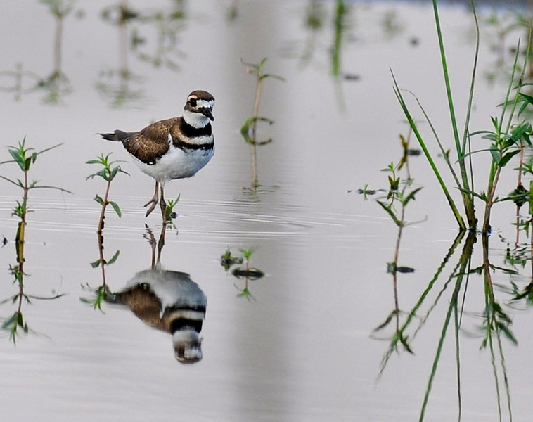 Curtis wetlands, June 25 7 pm; killdeer