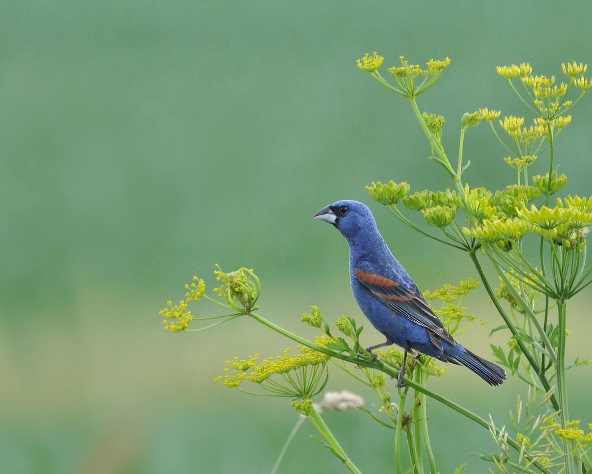 Male Blue Grosbeak, Buffalo Trace, June 13, 2009