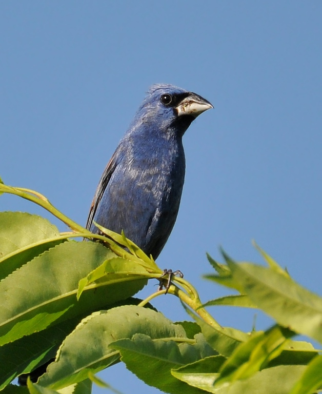 Buffalo Trace, June 28, 2009; male blue grosbeak