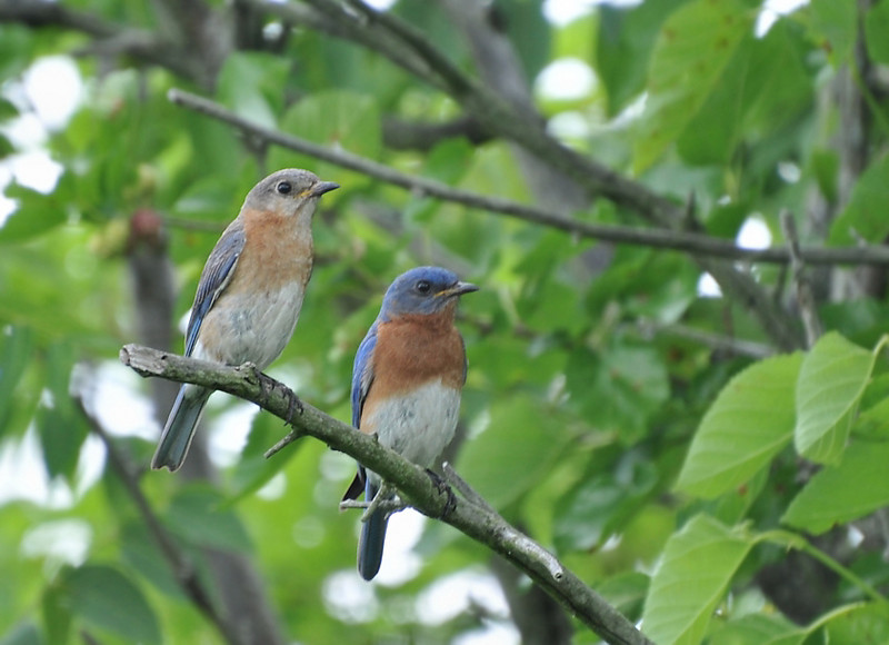 Bluebird family, Buffalo Trace, June 13, 2009