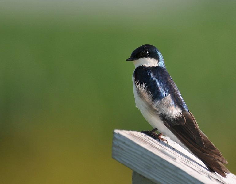 Buffalo Trace, June 26, 2009; tree swallow