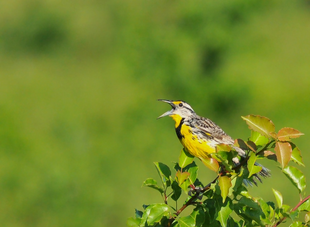 Meadowlark; Buffalo Trace, June 20, 2009