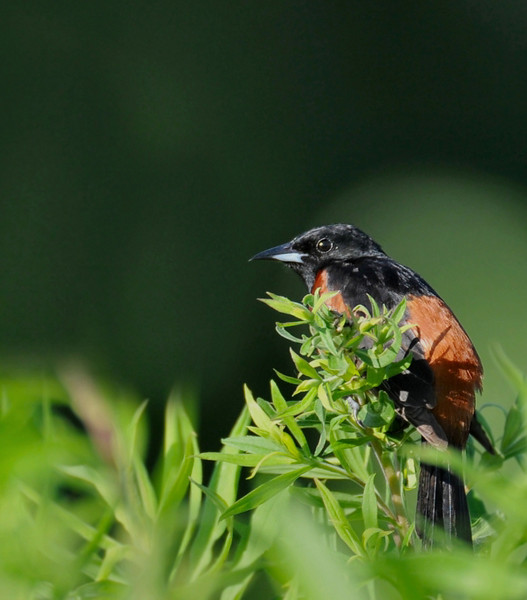Buffalo Trace, June 28, 2009; male orchard oriole