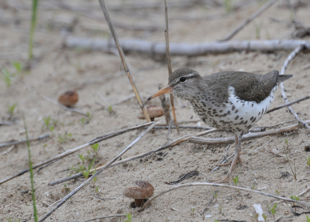 Spotted sandpiper; Chicago