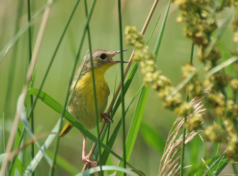 I believe this is a female yellowthroat.