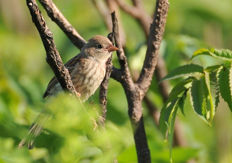 Buffalo Trace, June 28, 2009; baby field sparrow