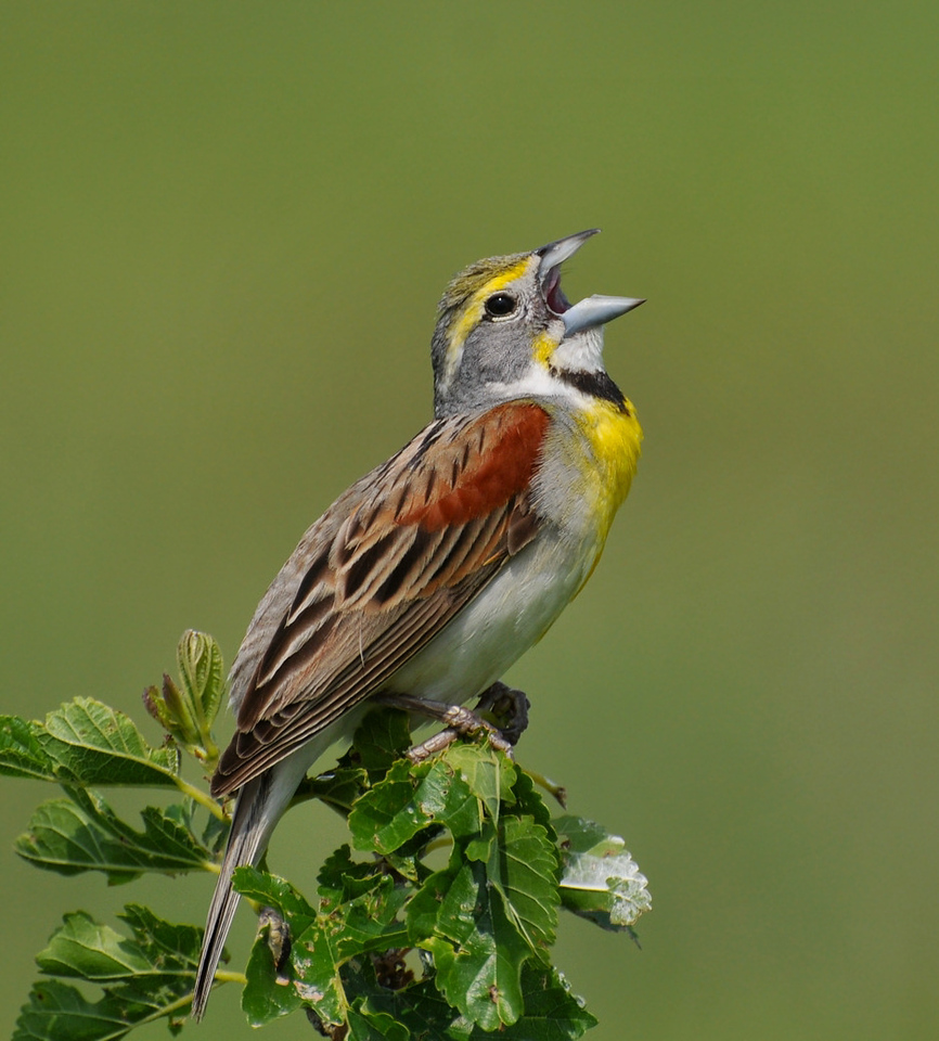 Male Dickcissel, Buffalow trace, June 13, 2009