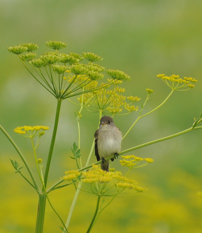 Willow Flycatcher; Buffalo trace