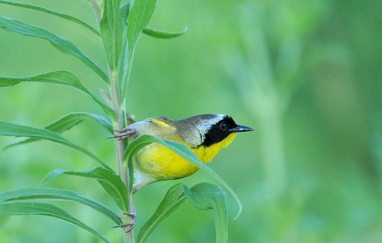 Buffalo Trace, June 18, 2009; male yellowthroat