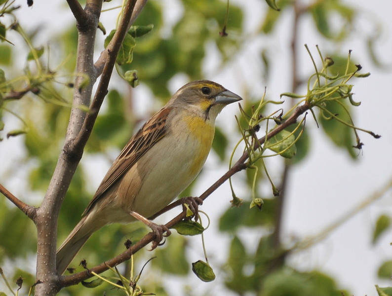 Female Dickcissel, Buffalo Trace, June 13, 2009