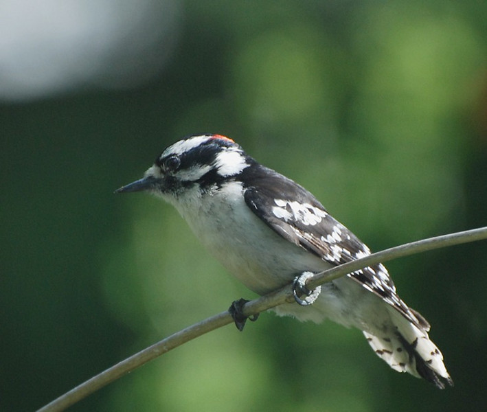 male downy woodpecker; photo from the living room