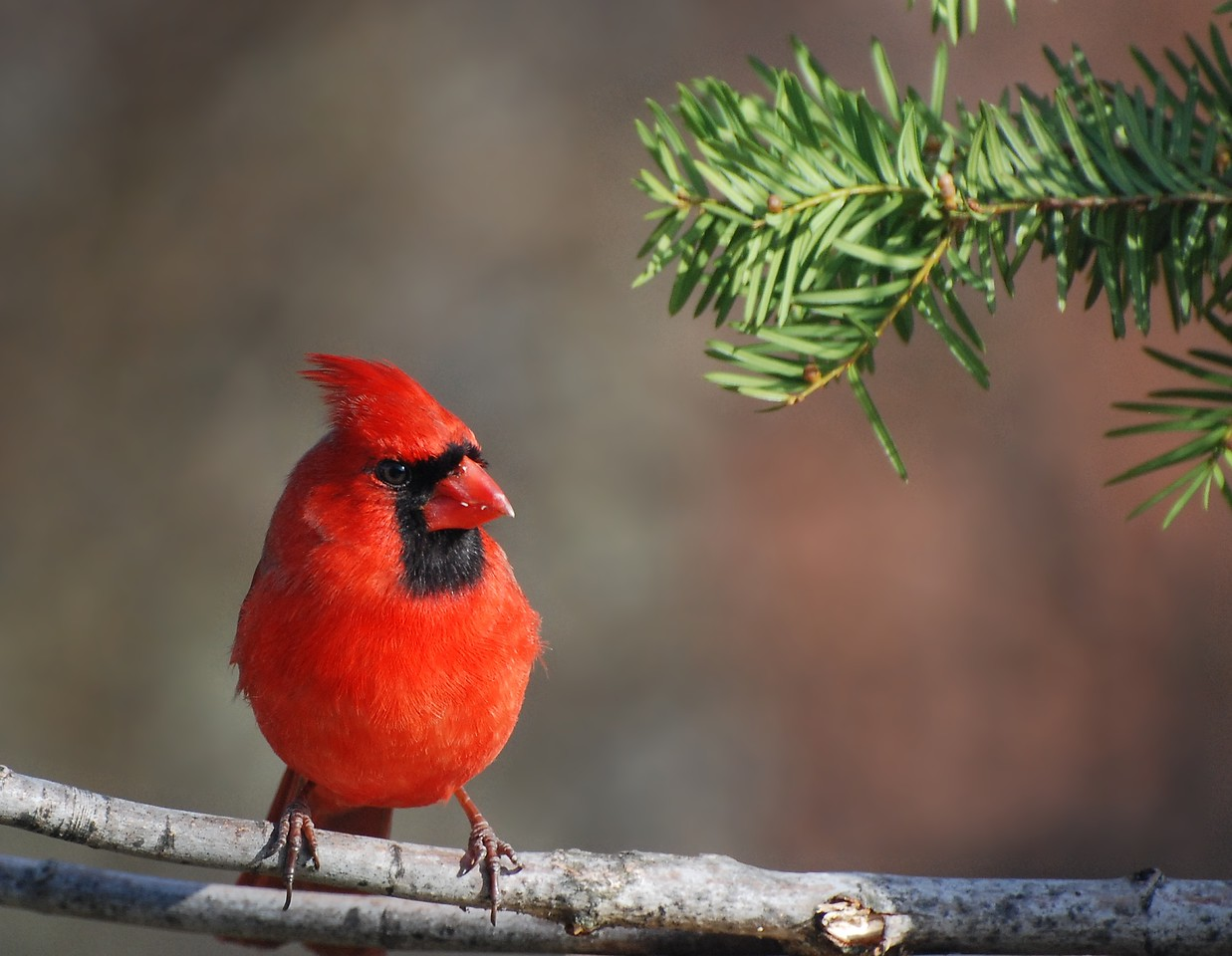 mail cardinal; photo from the living room