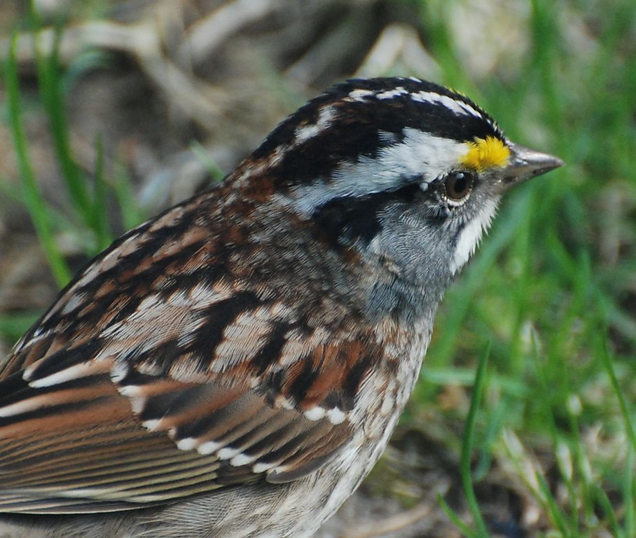 white throated sparrow; photo from the living room