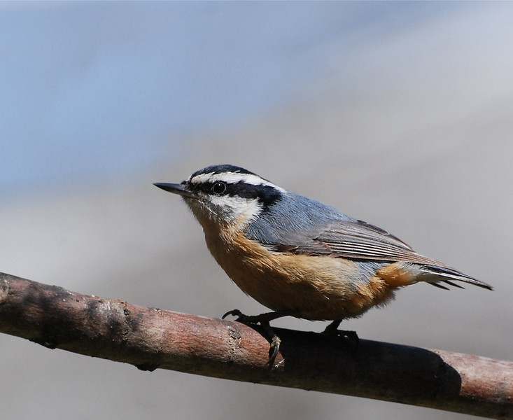 nuthatch, photo from the living room