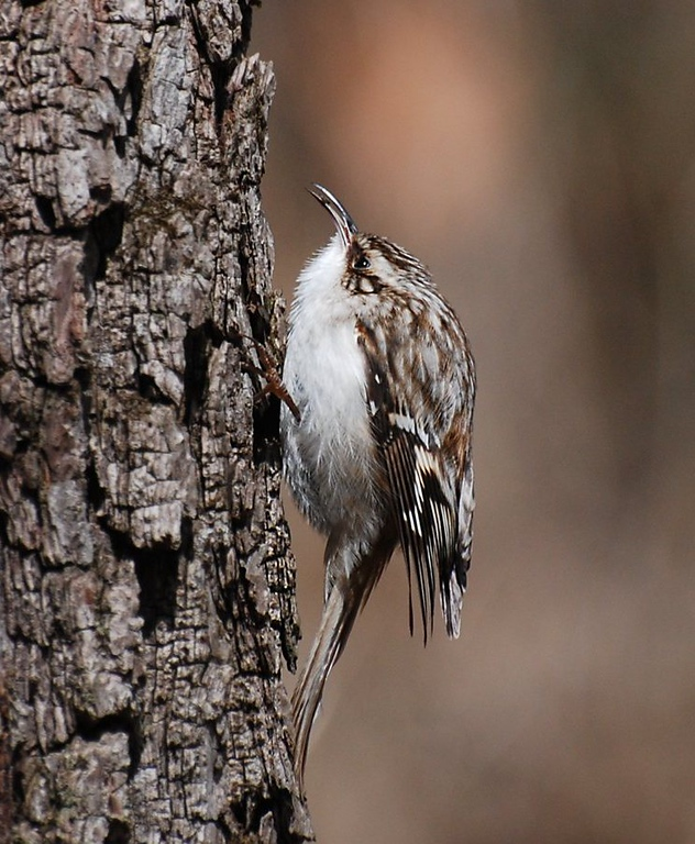 tree creeper; Illinois