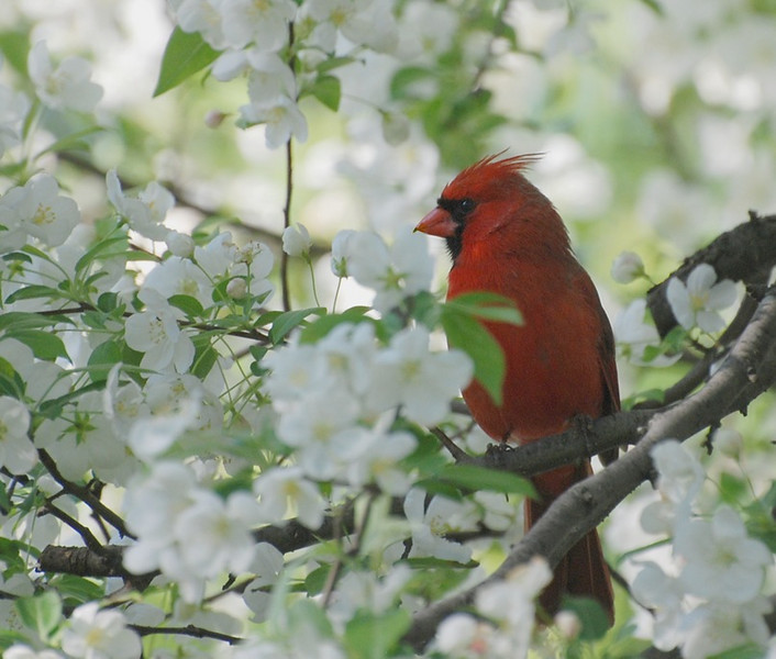 male cardinal; photo from the living room