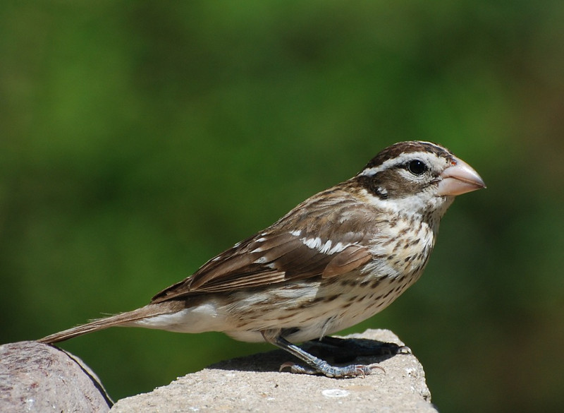 female rose-breasted grosbeak; photo from the living room