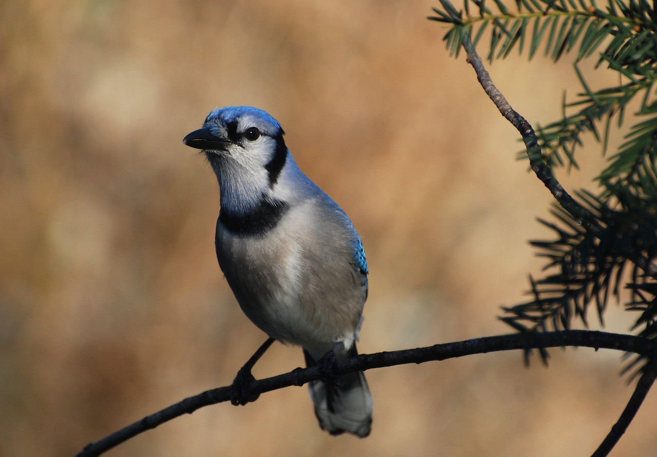 bluejay, photo from the living room