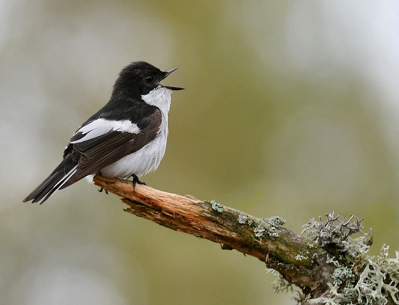Male Pied Flycatcher, Sweden, May 2010