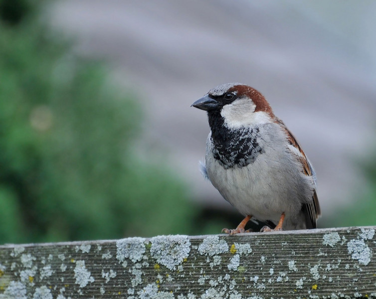 Japan house sparrow