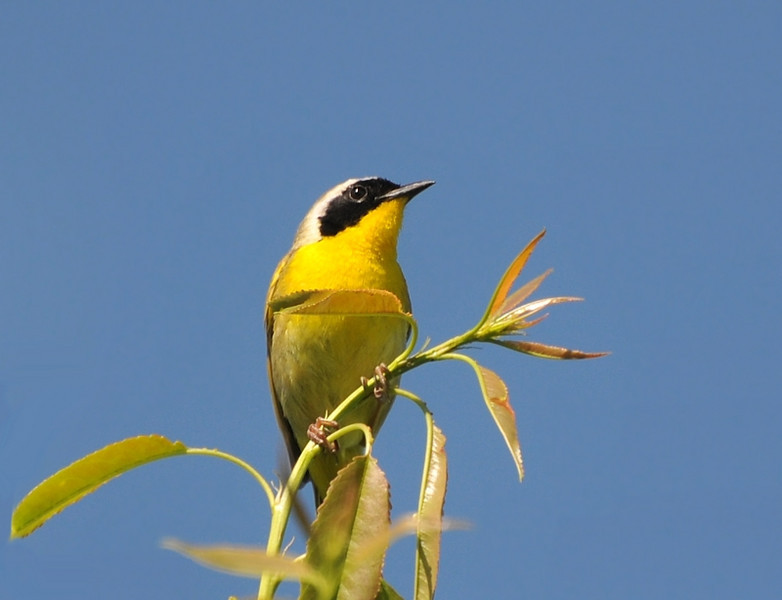 Yellowthroat: Buffalo Trace