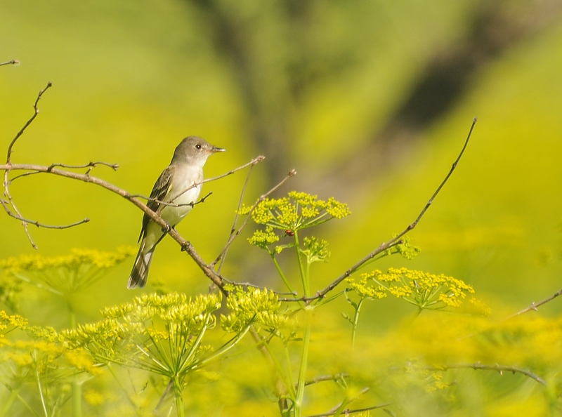 Easterm wood pewee in yellow; Buffalo Trace