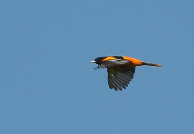 Baltimore oriole, could not get close; there was an Orchard one too. Buffalo Trace