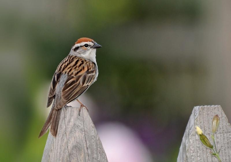 UI Arboretum; Chipping sparrow