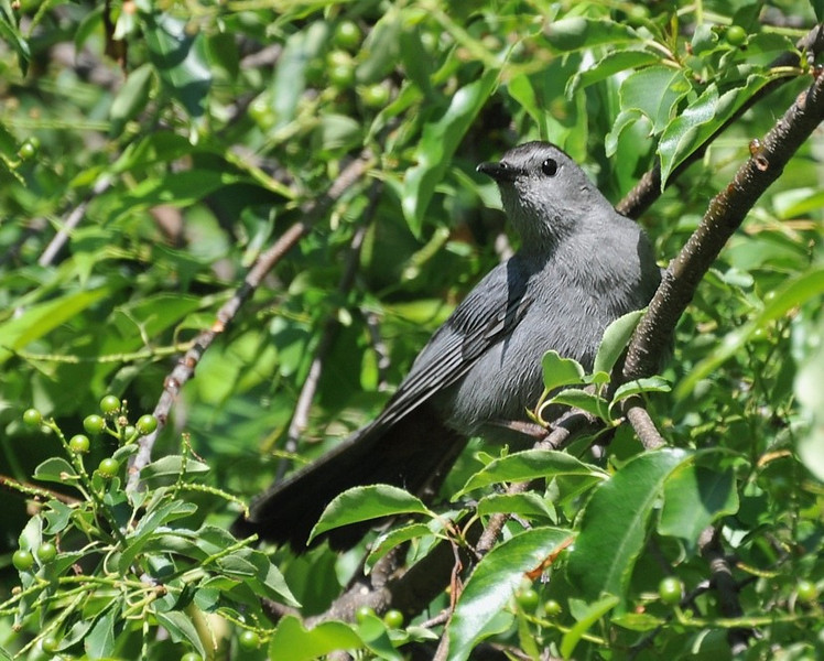 Catbird; Anita Center